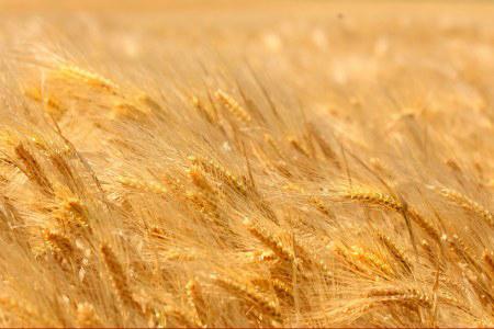 uso de granos en la elaboración de cerveza